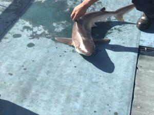 【メジロザメ】10キロ・1m10cm