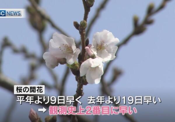 桜シーズンスタート!桜といえば花見と写真だけど、日本との違いは??