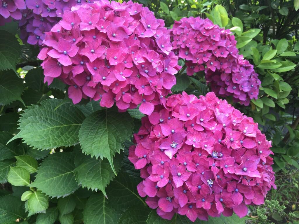 庭の紫陽花です