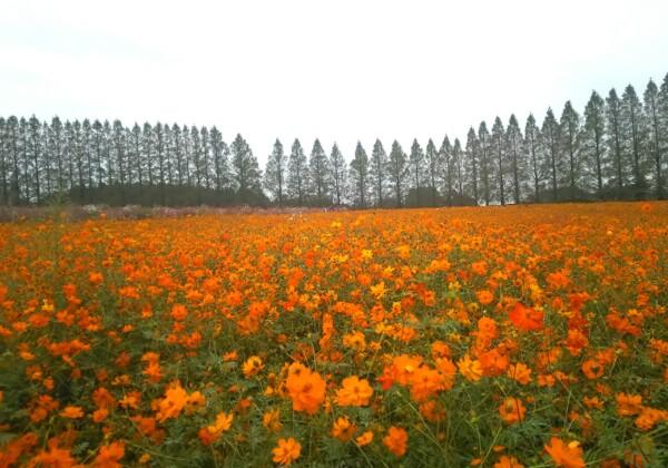 オレンジの絨毯